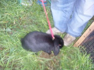 Black bunny on a leash.