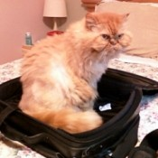 Cat sitting in a suitcase.