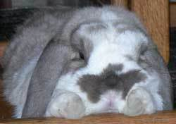 Closeup of gray and white bunny.