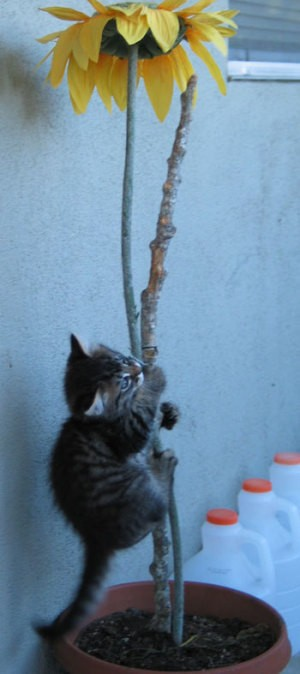 Kitten climbing up a plant stalk.
