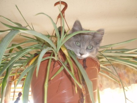 Cat hiding out in a hanging spider plant pot.