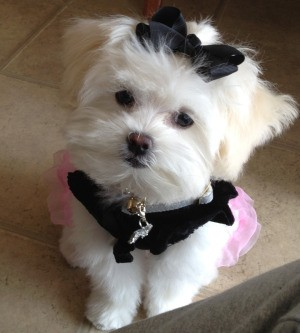 Cute puppy with a black bow in its hair.
