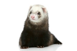 Caring for a Pet Ferret