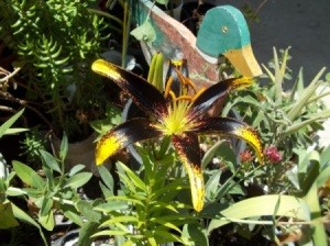 Maroon and gold lily.