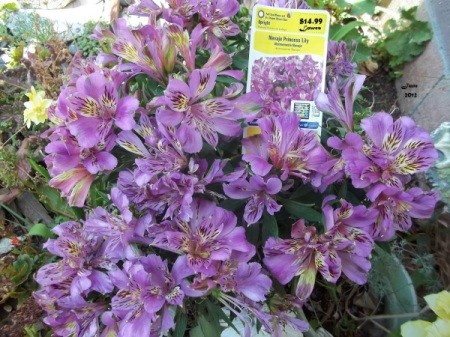 "Alstroemeria called ""Navajo Princess""."