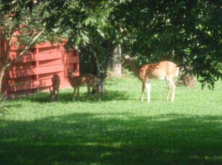 Deer under apple tree.