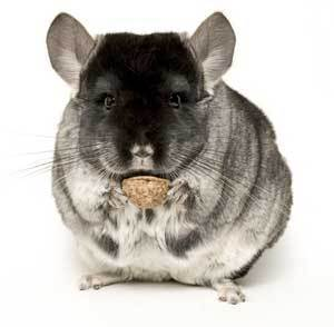 Closeup of a chinchilla holding a piece of food>