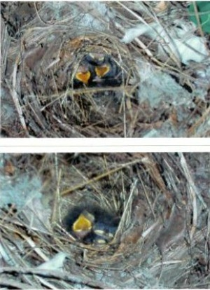 Baby Birds (Williston, FL)