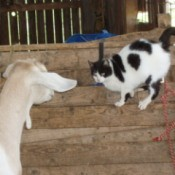 Black and white cat with goat.