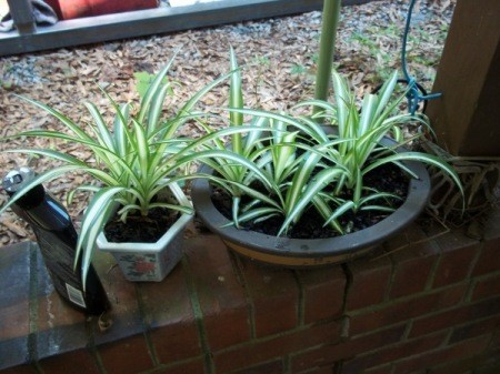 Pots with baby spider plants.
