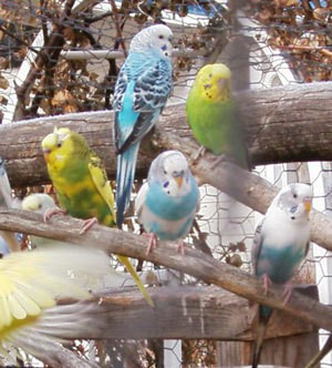 Blue and white, as well as yellow and green parakeets.