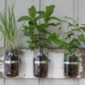 Canning jars with herbs planted in them.