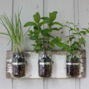 Herbs planted in canning jars.