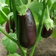 Eggplants hanging on the plant.
