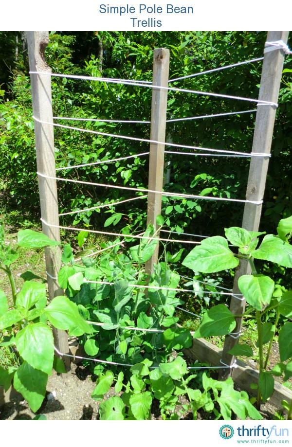 how to grow pole beans on a trellis