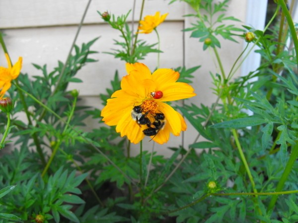 Bumble bees and ladybug on coreopsis flower.