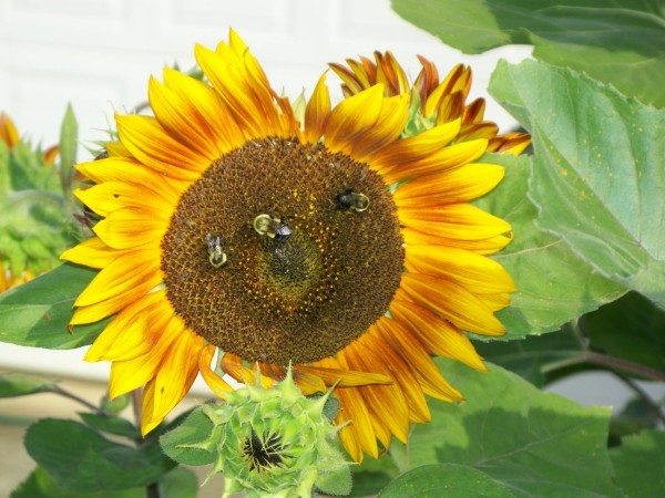 Bees and Sunflowers (Maryville, TN)