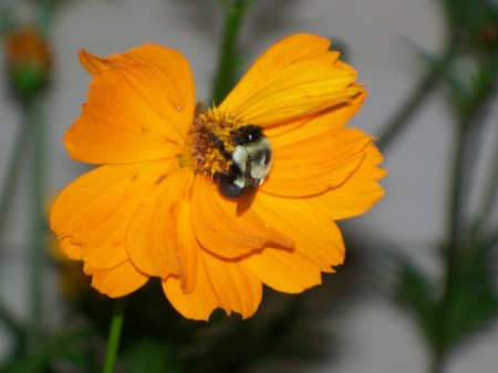 Bumblebee Pollinating Coreopsis (Maryville, TN)