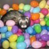 A ferret in a play pit of plastic Easter Eggs