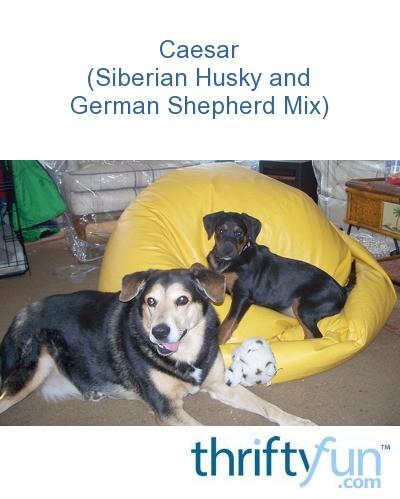 Dog Profile For Brutus A Male German Shepherdsiberian Husky Design ...