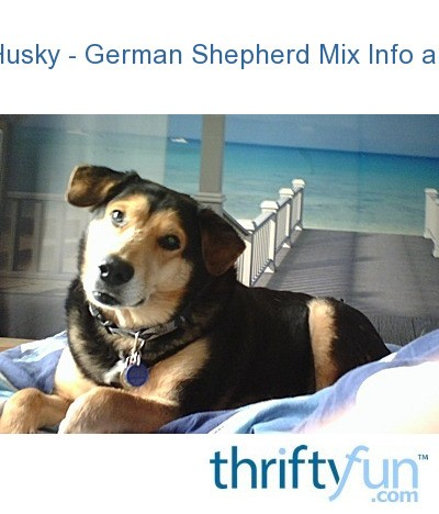 Related Pictures german shepherd siberian husky alaskan malamute