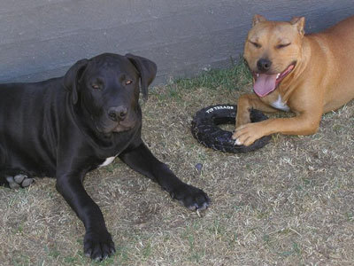 Tammy & Tyson (American Staffordshire Terrier and an American Staffy-Mastiff)