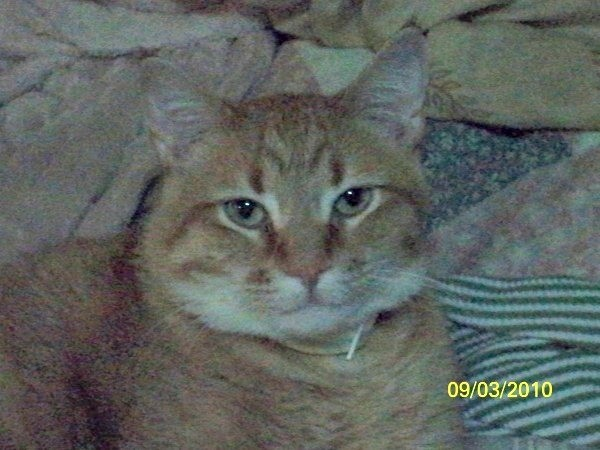 Wiley (Tabby Cat)