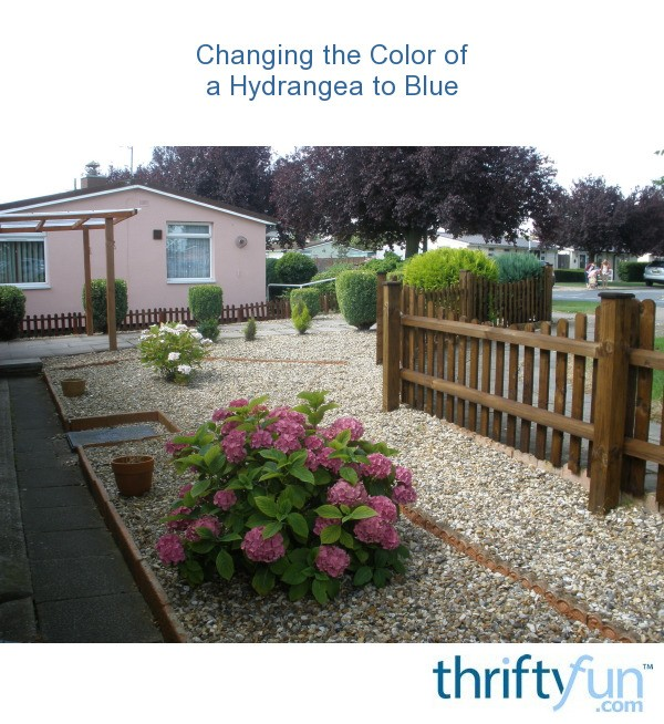 Changing The Color Of A Hydrangea To Blue Thriftyfun