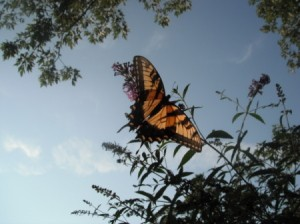 Butterfly on a butterfly bush.