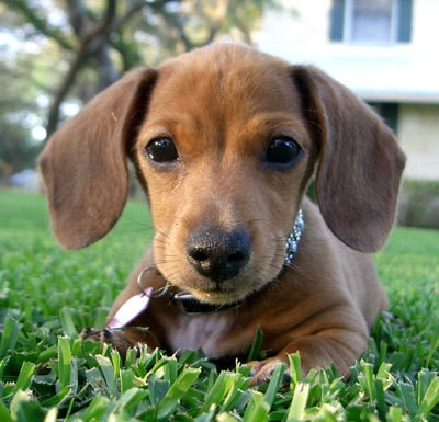 Dachshund Puppies For Sale In San Antonio Tx