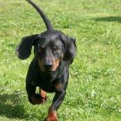 Dachshund Breed Information