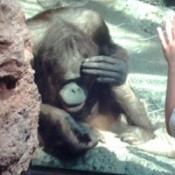 Orangutang with hand to face.