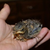 Young Thrush in person's hand.