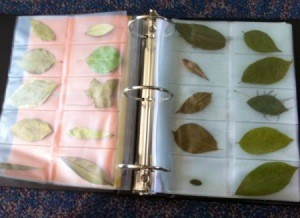 Leaves in business card sleeves in binder.