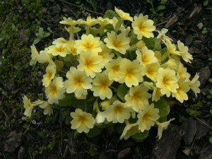 Lovely Yellow Primula (Preventing Slugs and Sow Bugs)