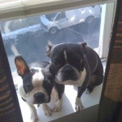 2 black and white dogs sitting on a windowsill.