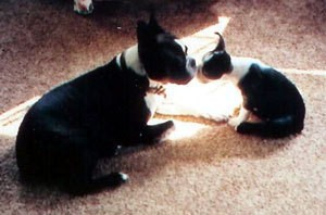 Black and white puppy nussling mother dog.