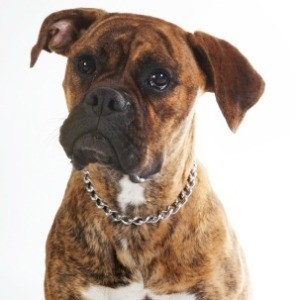 Photo of Boxer.