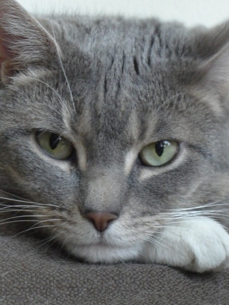 Closeup of grey tabby with green eyes.