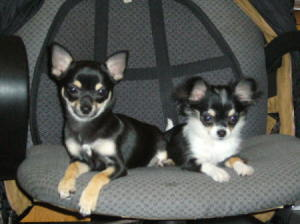 Two Chihuahuas on chair.