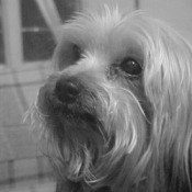 Closeup black and white photo of Hershey.