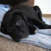 Puppy laying on towel.