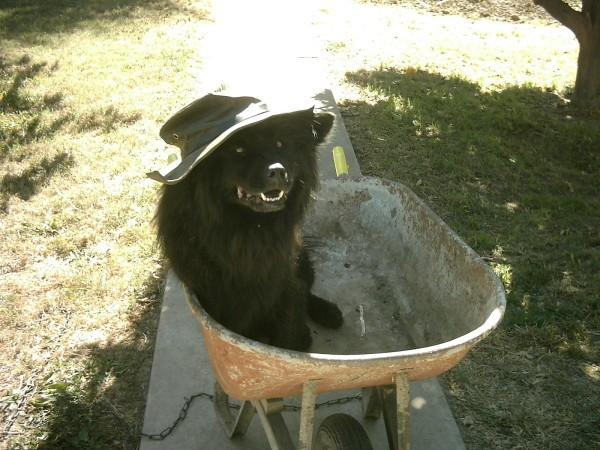 Vader in a wheelbarrow wearing a hat.