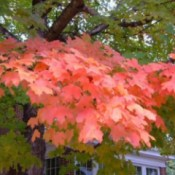 Brilliant fall leaves on a maple tree