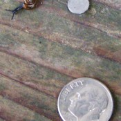 A small snail next to a dime.