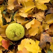 Photo of a hedge apple.