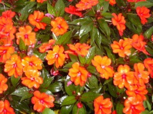 Impatiens After the Rain (NC)