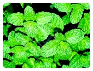 Mint leaves closeup.