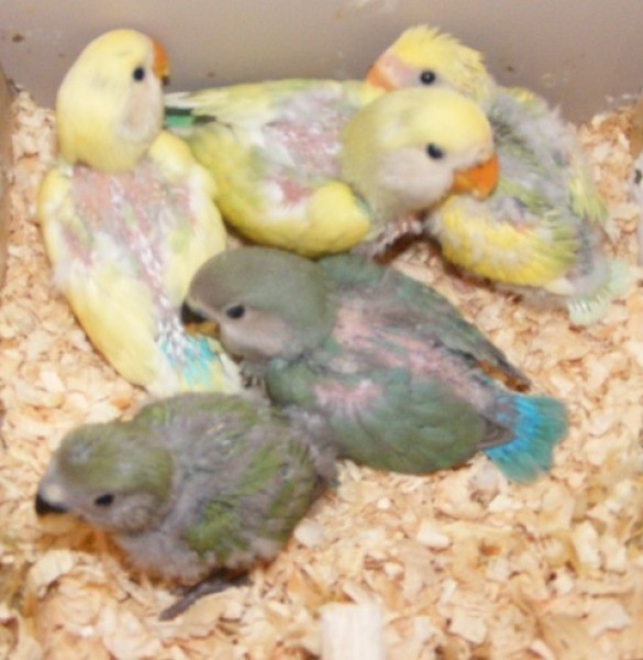 Five cute baby birds, three yellow with blue and two gray with a turquoise tail.
