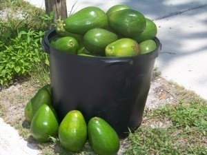 Avocados from Florida